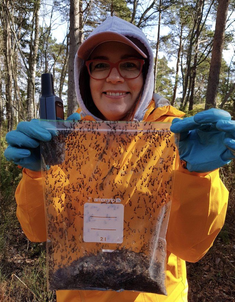 Muurahaistutkija on kerännyt maastossa muurahaisia ja niiden pesämateriaalia muovipussiin.