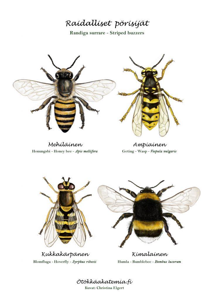 Mehiläinen, ampiainen, kukkakärpänen ja kimalainen.