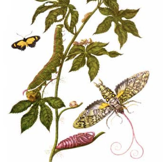 Kasvi, jossa kiitäperhosen toikka ja kotelo, myös kiitäjä ja päivperhonen.