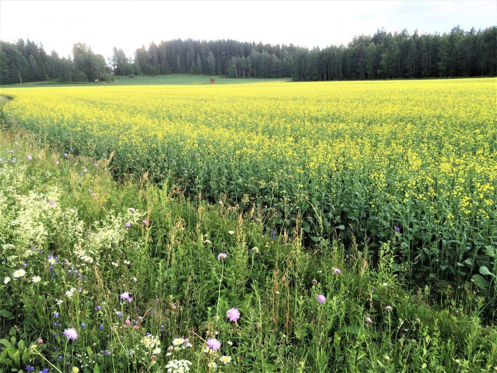Kukkiva rypsipelto, jonka laidalla kukkivia luonnonkukkia.